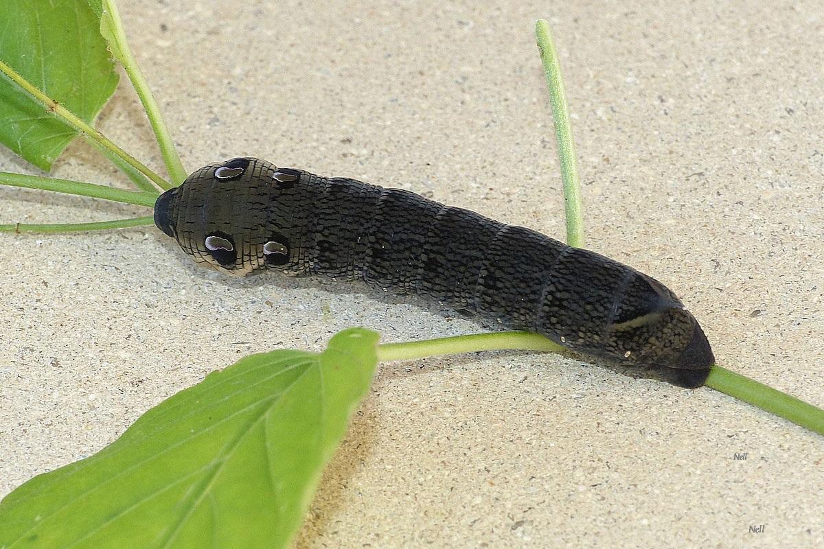 Deilephila elpenor chenille (4).JPG