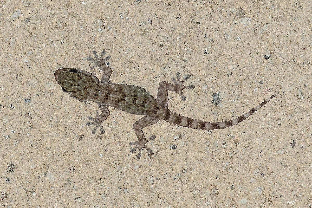 Tarente de Maurétanie ou Gecko des murs (4).JPG