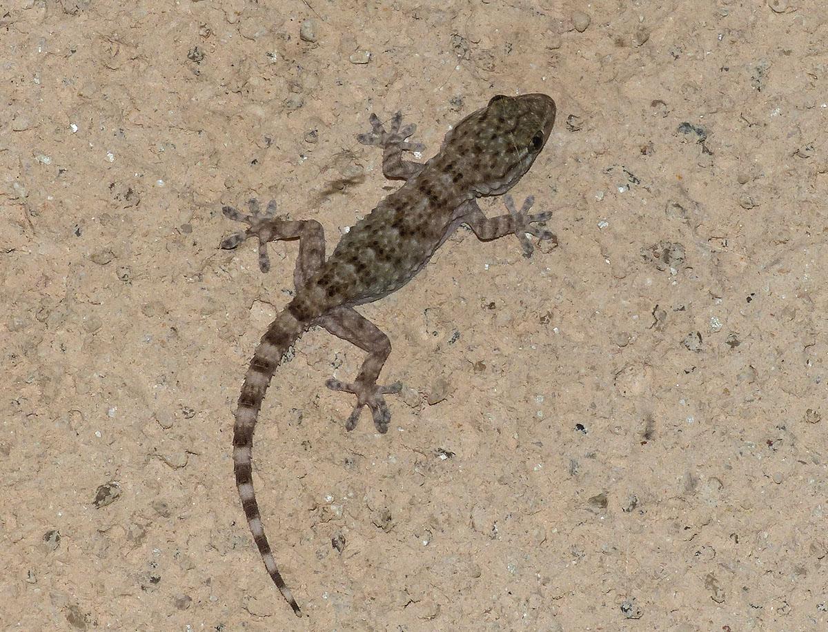 Tarente de Maurétanie ou Gecko des murs (1).JPG