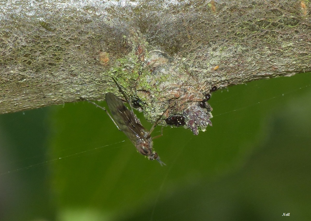 femelle chironomus (2).JPG