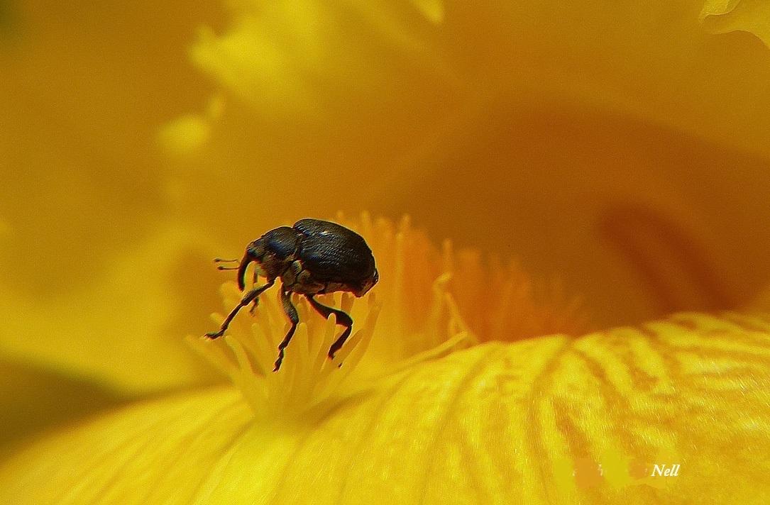 Charençon de l'iris. Mononychus pseudacori.JPG