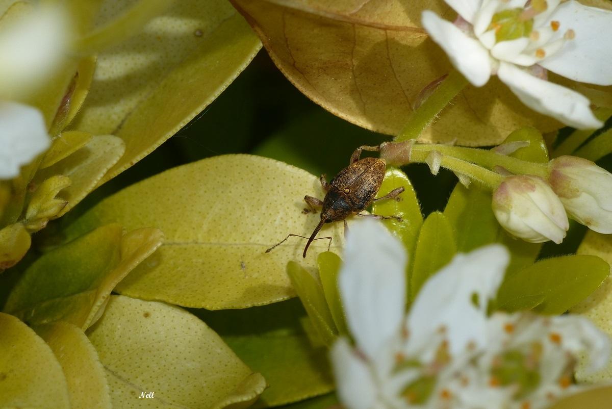 Le balanin des noisettesCurculionidae (1).JPG