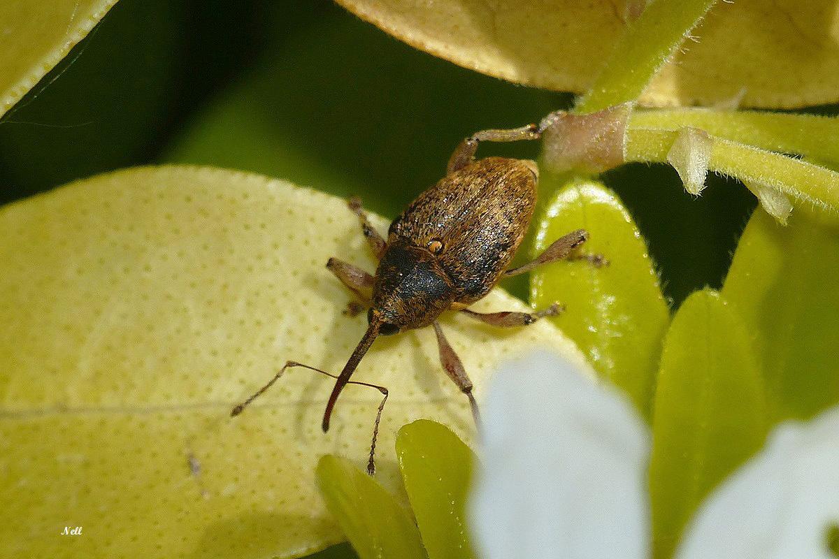 Le balanin des noisettesCurculionidae (3).JPG