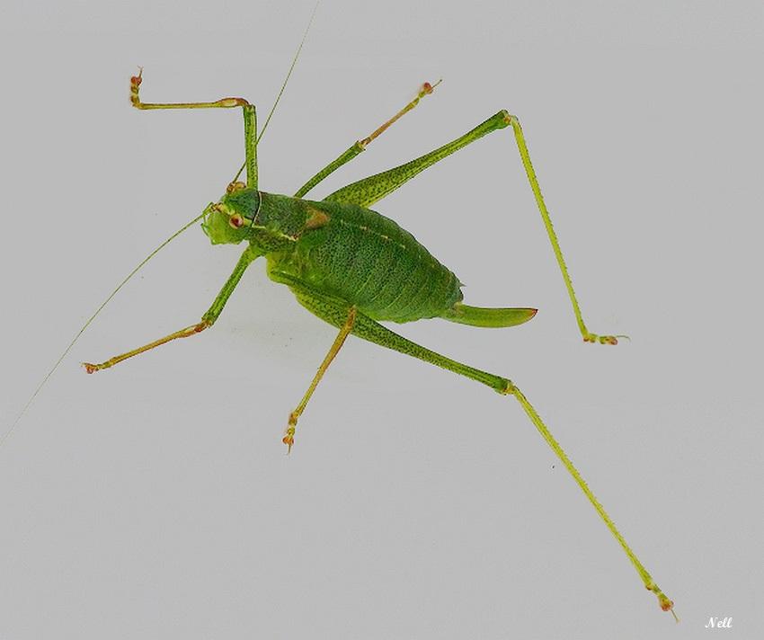 Phaneropteridae.JPG