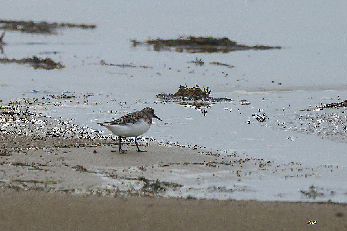 Bécasseau sanderling plumage nuptial (3).JPG