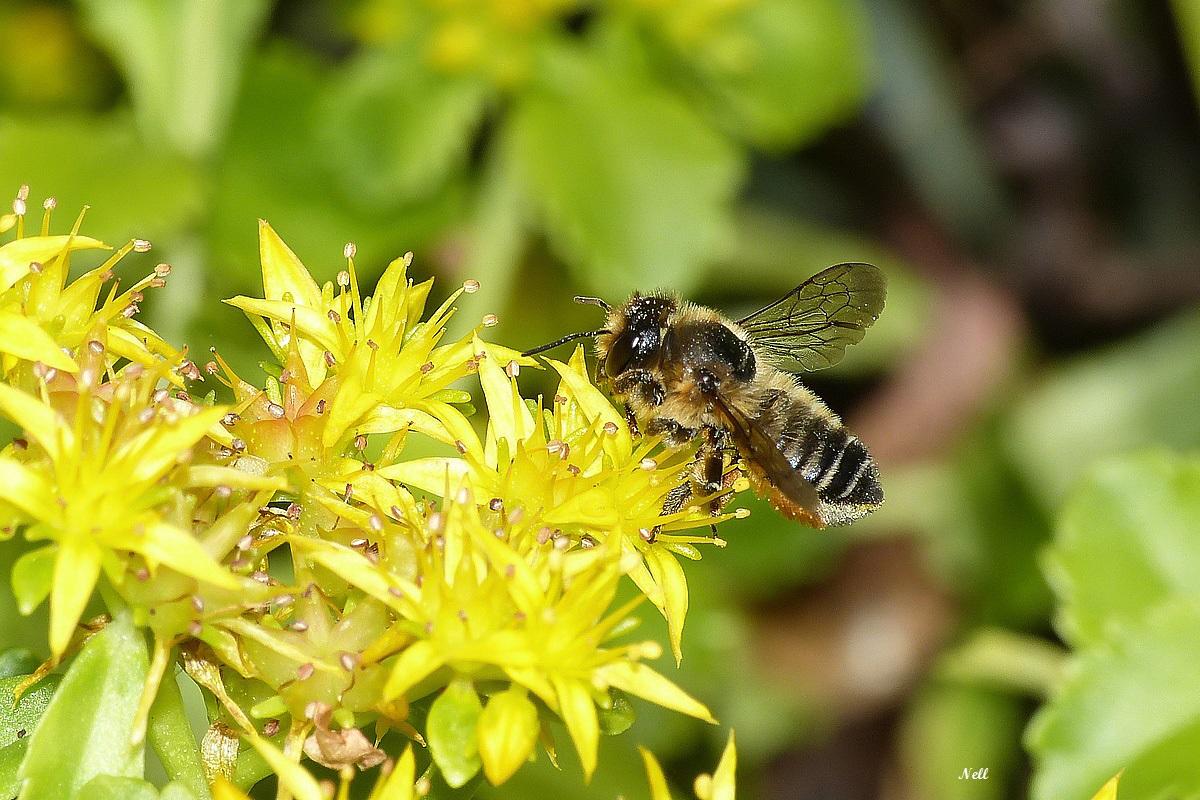 Megachile centuralis Megachilidae - Copie.JPG