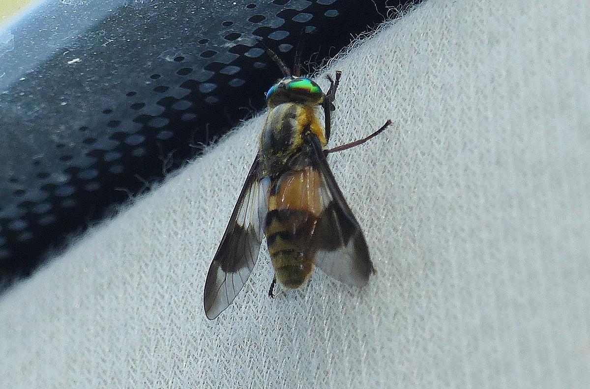 Chrysops viduatus (5).JPG