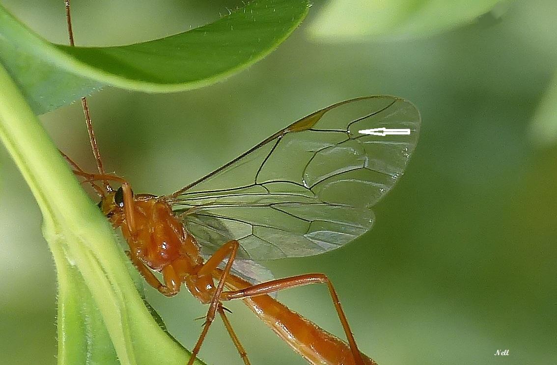 Netelia sp hymenoptère Ichneumonidae (3) - Copie - Copie.JPG