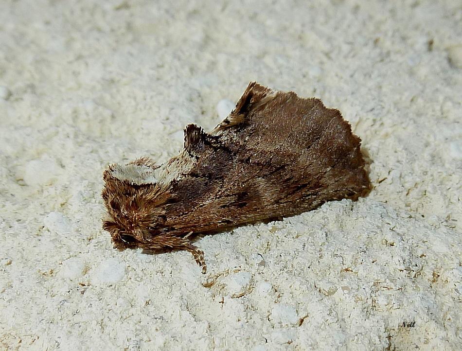 crète de coq ptilodon capucina. Notodontidae (2).JPG