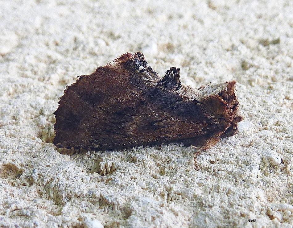 crète de coq ptilodon capucina. Notodontidae (3).JPG