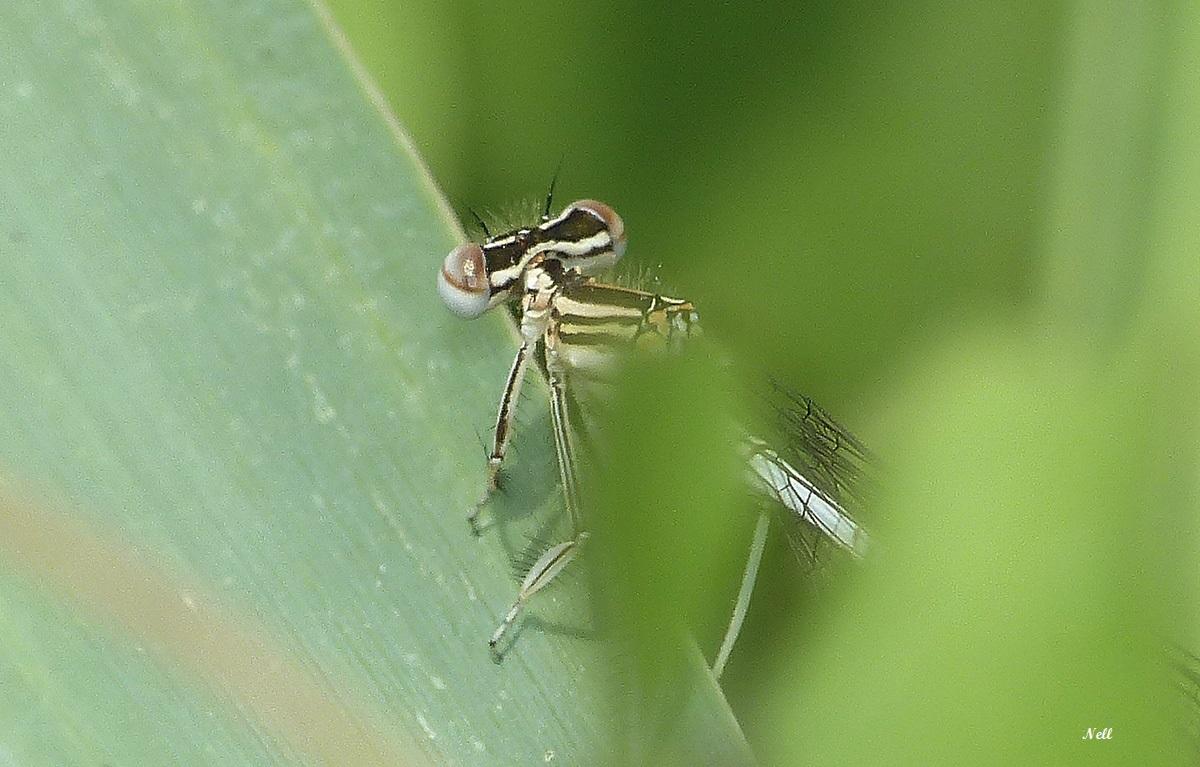 Platycnemis pennipes (3).JPG
