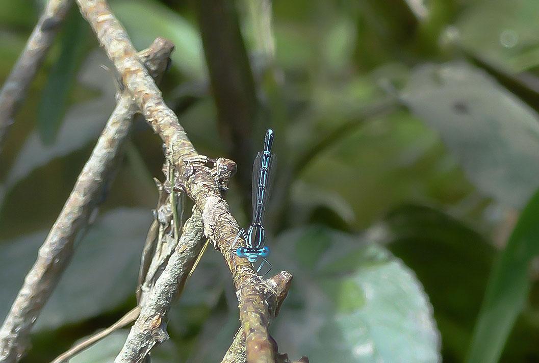 Coenagrion scitulum - Agrion mignon.JPG