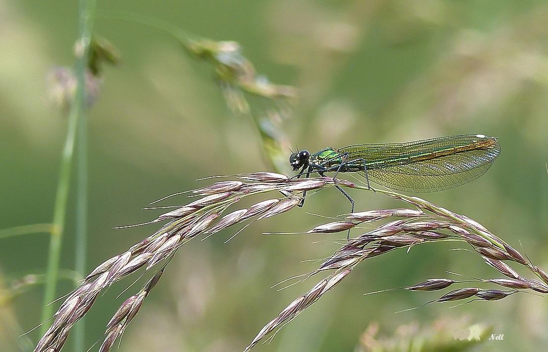 Le caloptéryx splendens  (8).JPG