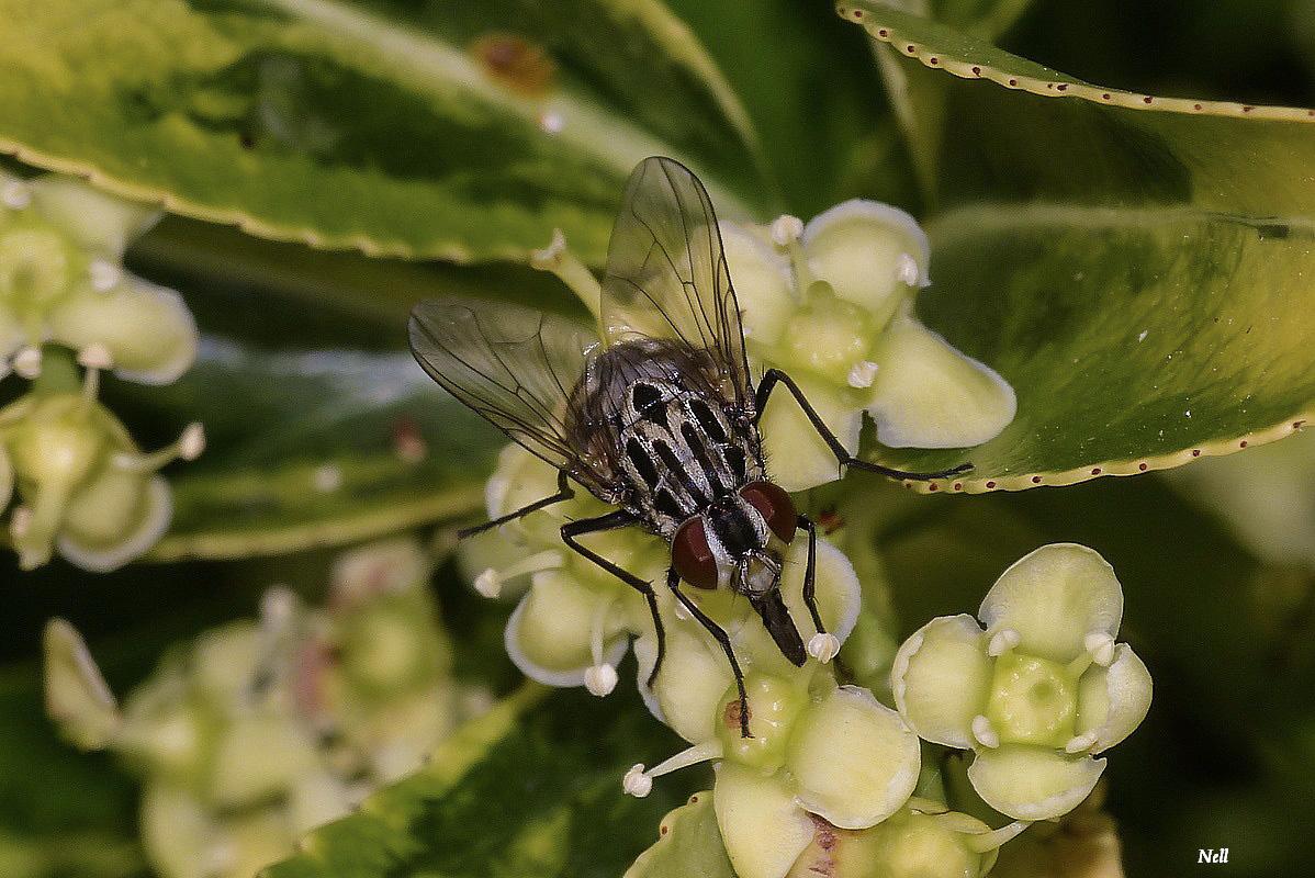 Graphomyie tachée (Graphomya maculata).JPG