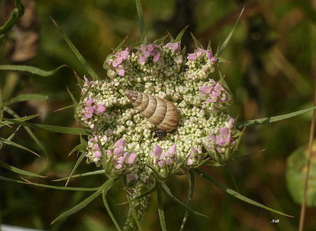 Cochlicellidae.jpg