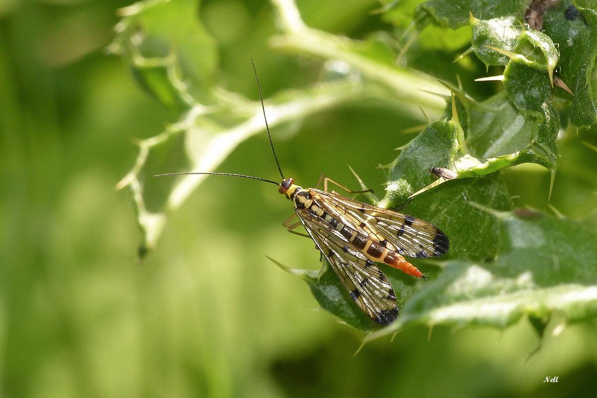 Panorpa vulgaris femelleInsecte Mécoptère (1).JPG