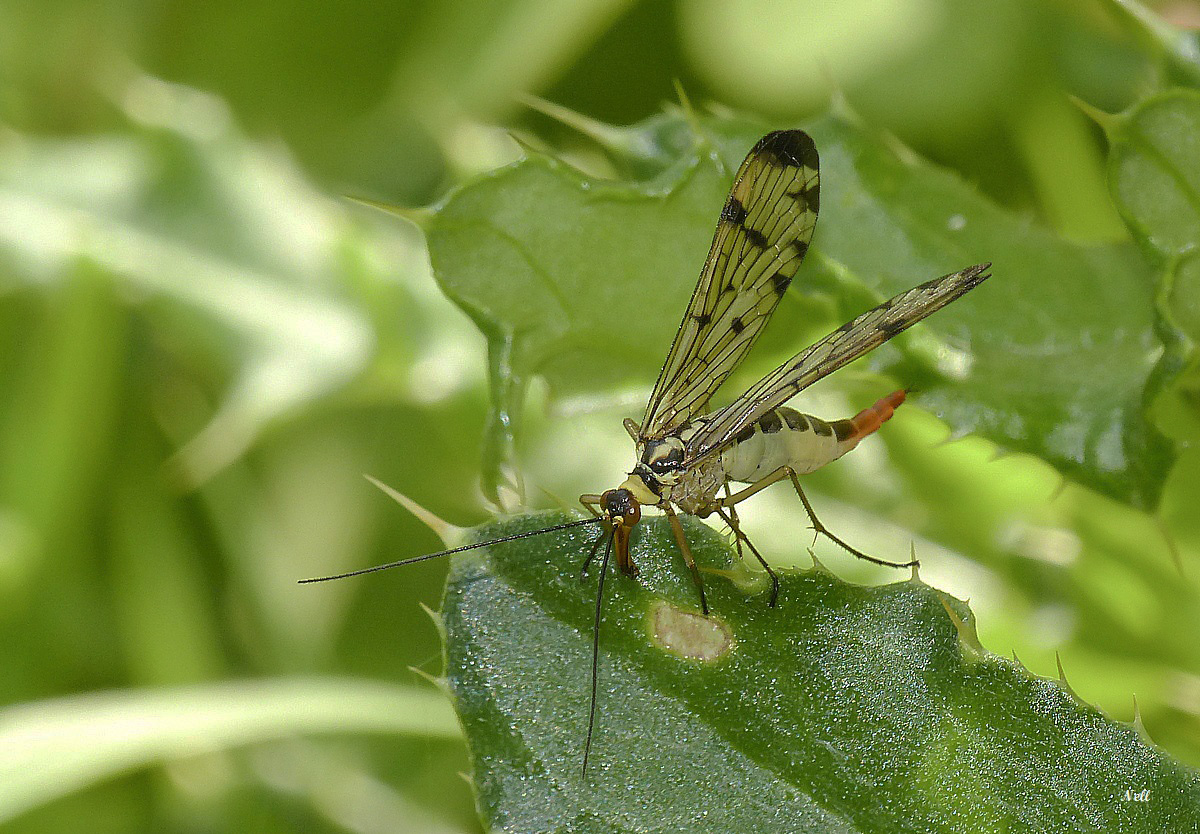 Panorpa vulgaris femelleInsecte Mécoptère (4).JPG