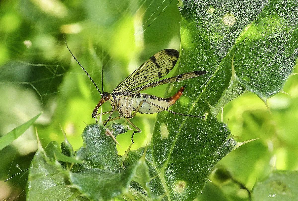 Panorpa vulgaris femelleInsecte Mécoptère (8).JPG