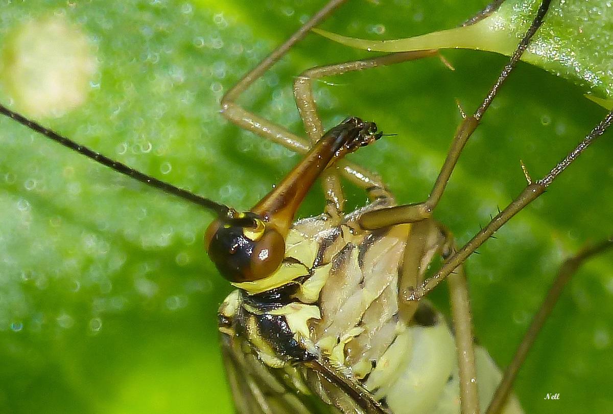 Panorpa vulgaris femelleInsecte Mécoptère (12).JPG