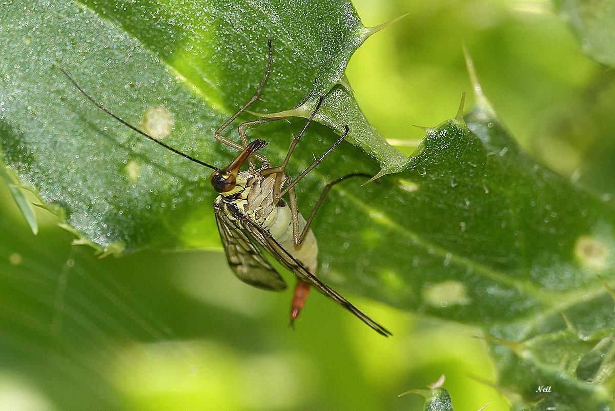 Panorpa vulgaris femelleInsecte Mécoptère (11).JPG