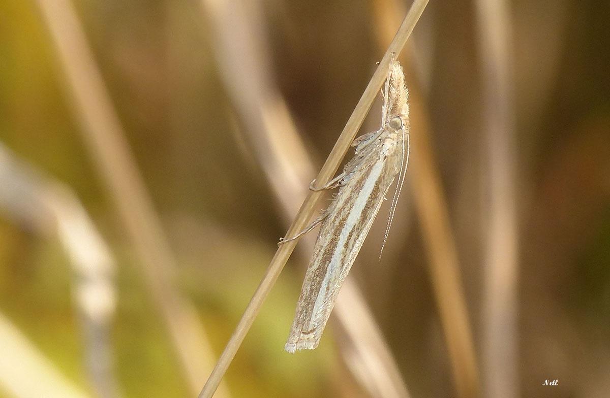 Agriphila sp lépidoptère hétérocere crambidae (1).JPG