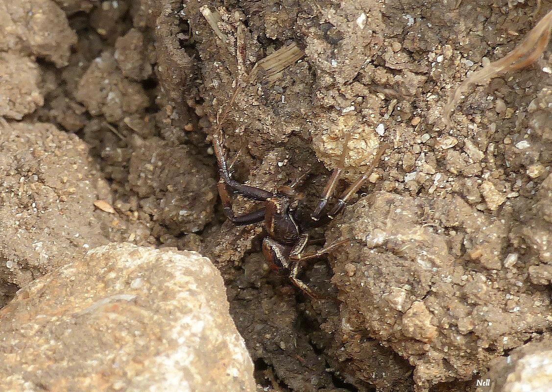 Xysticus kochiThomisidae (5).JPG