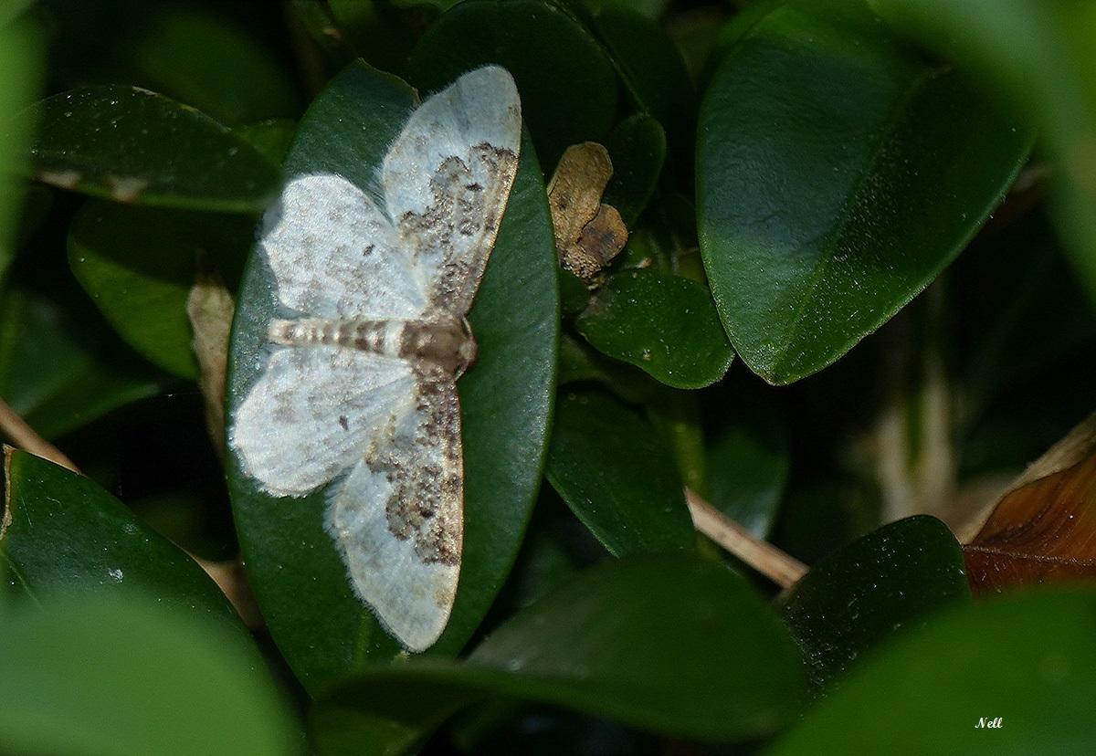 Phalène rustique Idaea rusticata (geometridae) (1).JPG