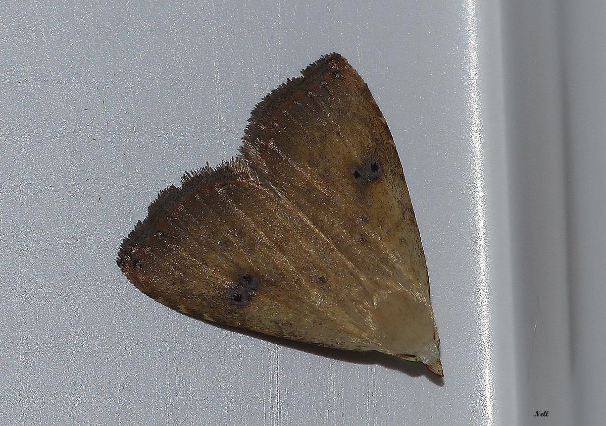 la soyeuse Rivula cericealis erebidae.JPG