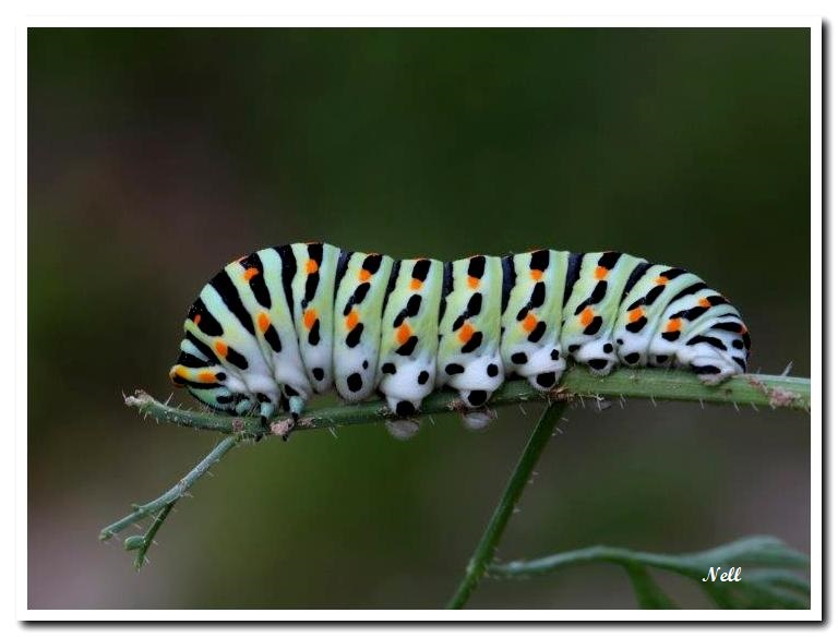 Chenille de Machaon.jpg