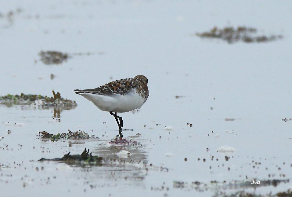 Bécasseau sanderling plumage nuptial (2).JPG