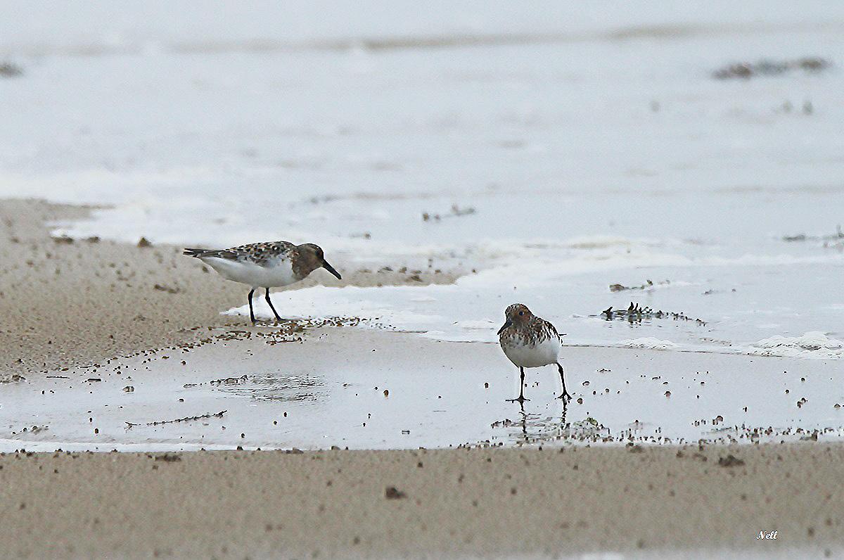 Bécasseau sanderling plumage nuptial (1).JPG