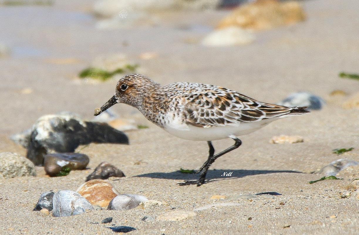 Bécasseau sanderling mâle nuptial.JPG