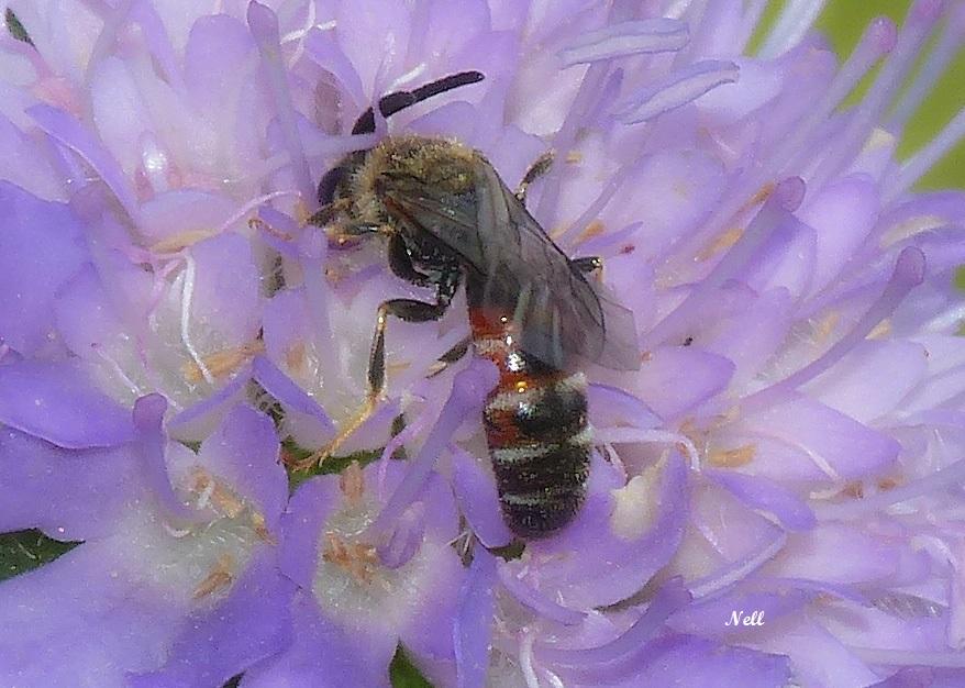 Lasioglossum (Evylaeus) calceatum Halicitidae (1).JPG