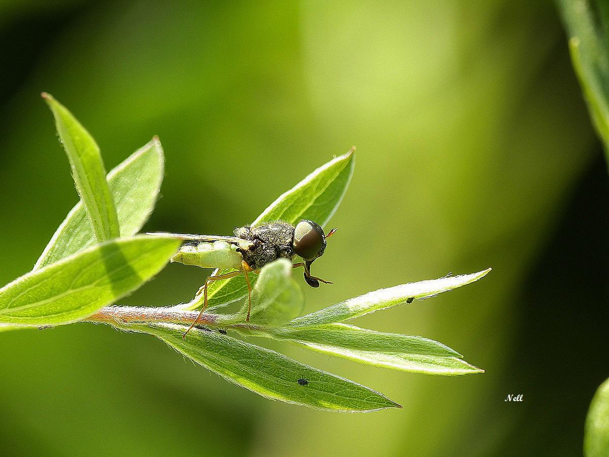 Odontomyia angulata (3).JPG