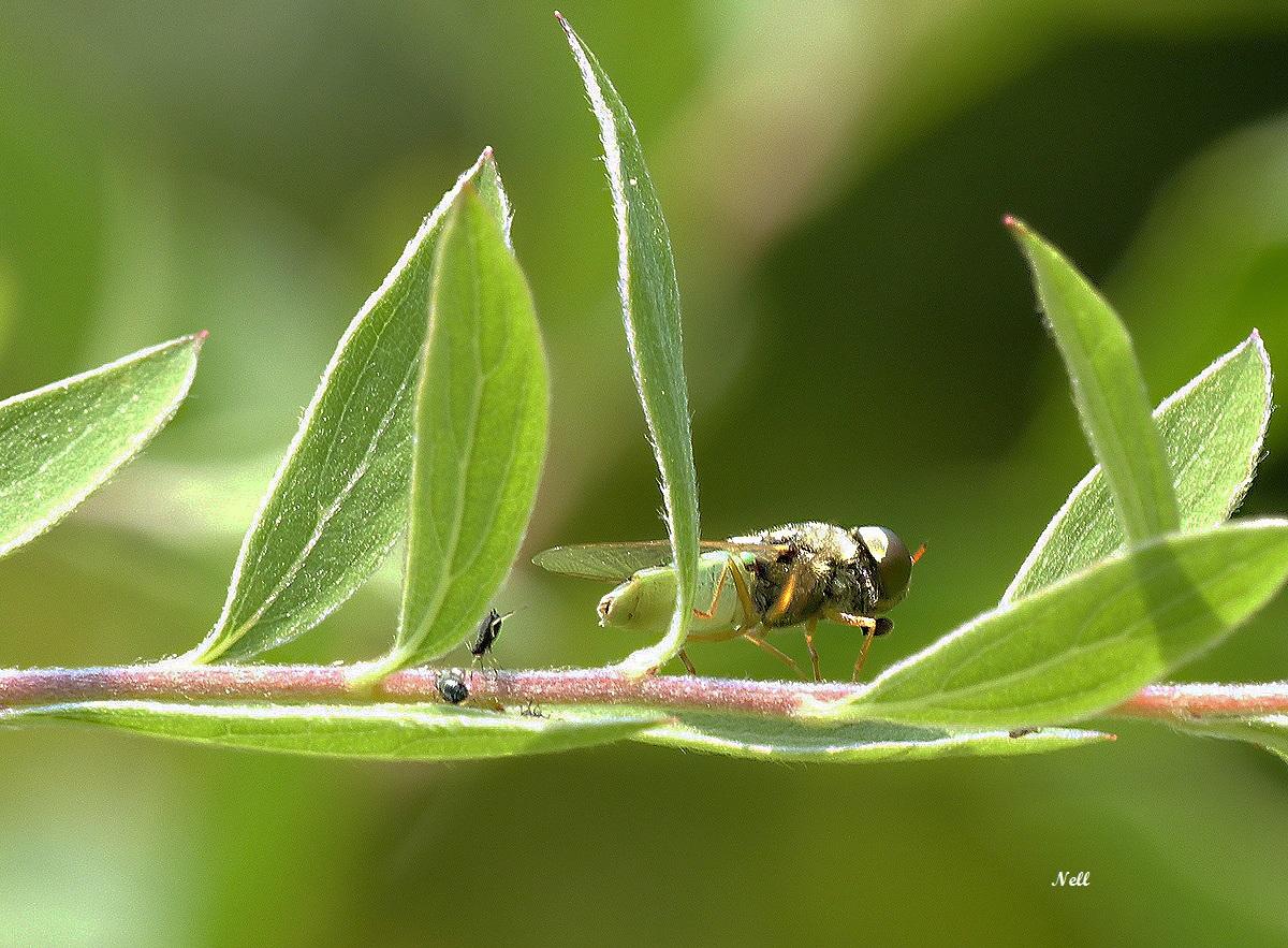 Odontomyia angulata (1).JPG