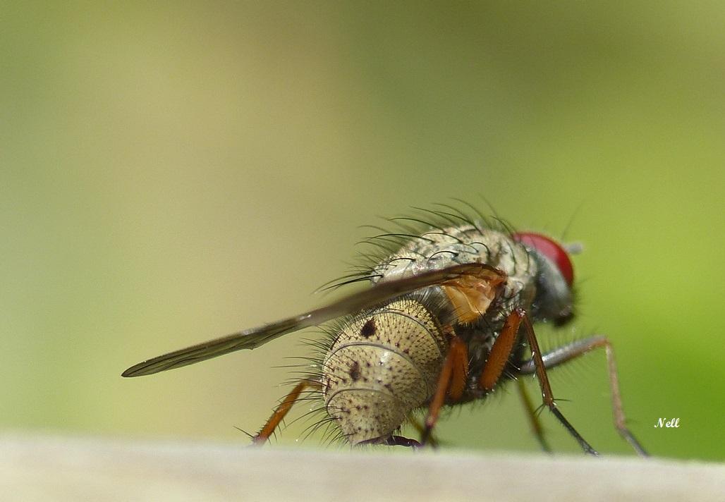 Helina sp ou Phaonia sp Muscidae (2).JPG