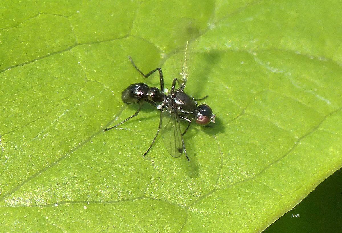 Nemopoda nitidula Sepsidae (1).JPG