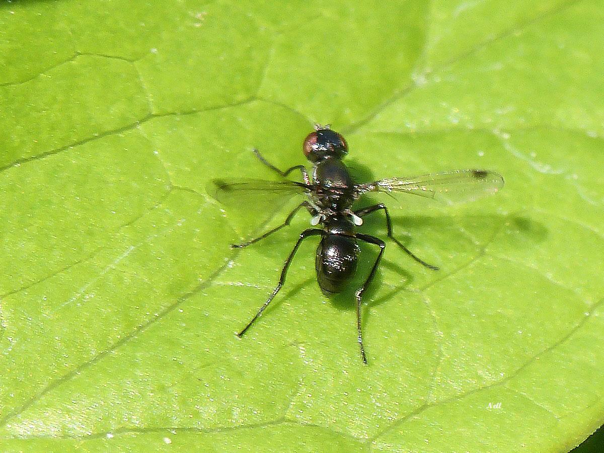 Nemopoda nitidula Sepsidae (2).JPG