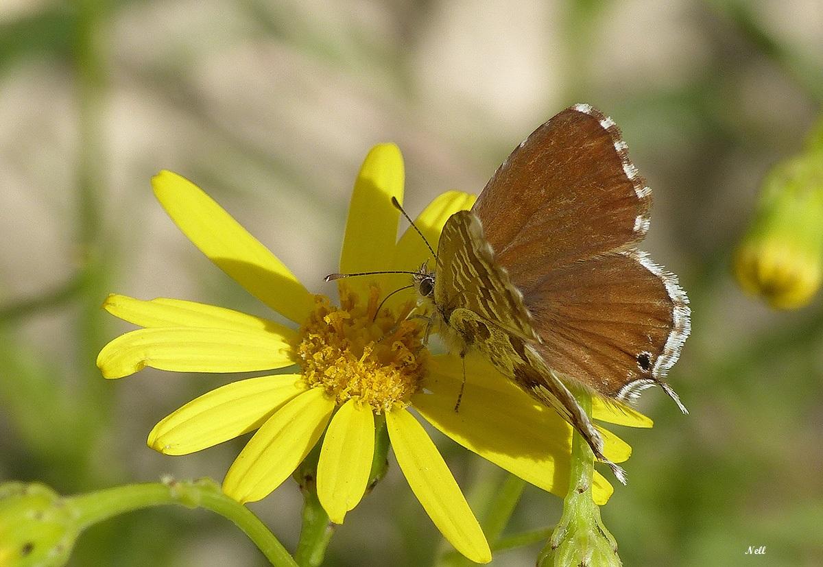 Brun du pélargonium (Cacyreus marshalli) (1).JPG