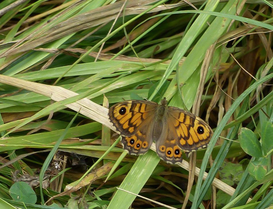 Mégère alias satyre   (Lasiommata megera)femelle (1).JPG
