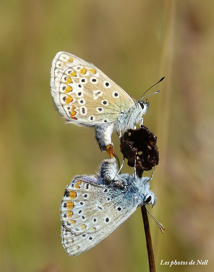 L'Argus bleu Polyommatus icarus(Rottemburg 1775) - Copie.JPG