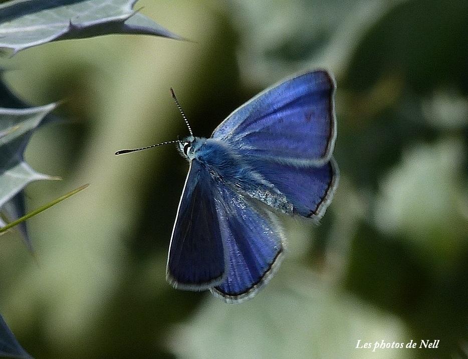 Polyommatus icarius mâle (3).JPG