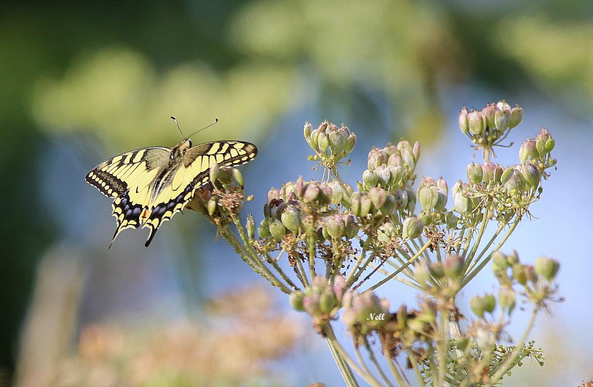 Papilio machaon.JPG