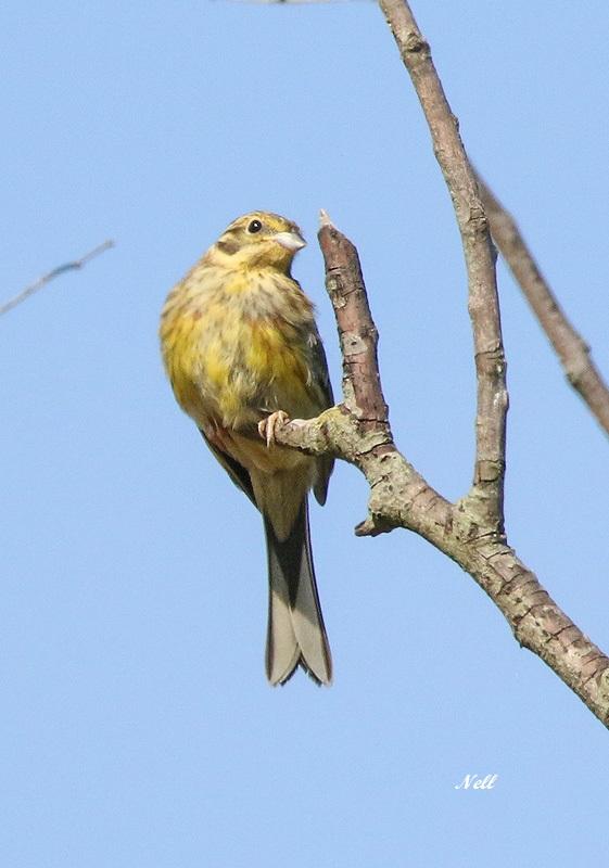 Bruant jaune femelle (2).JPG