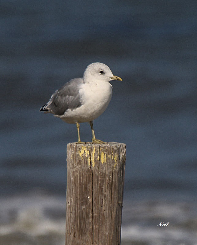 Mouette tridactyle (1).JPG