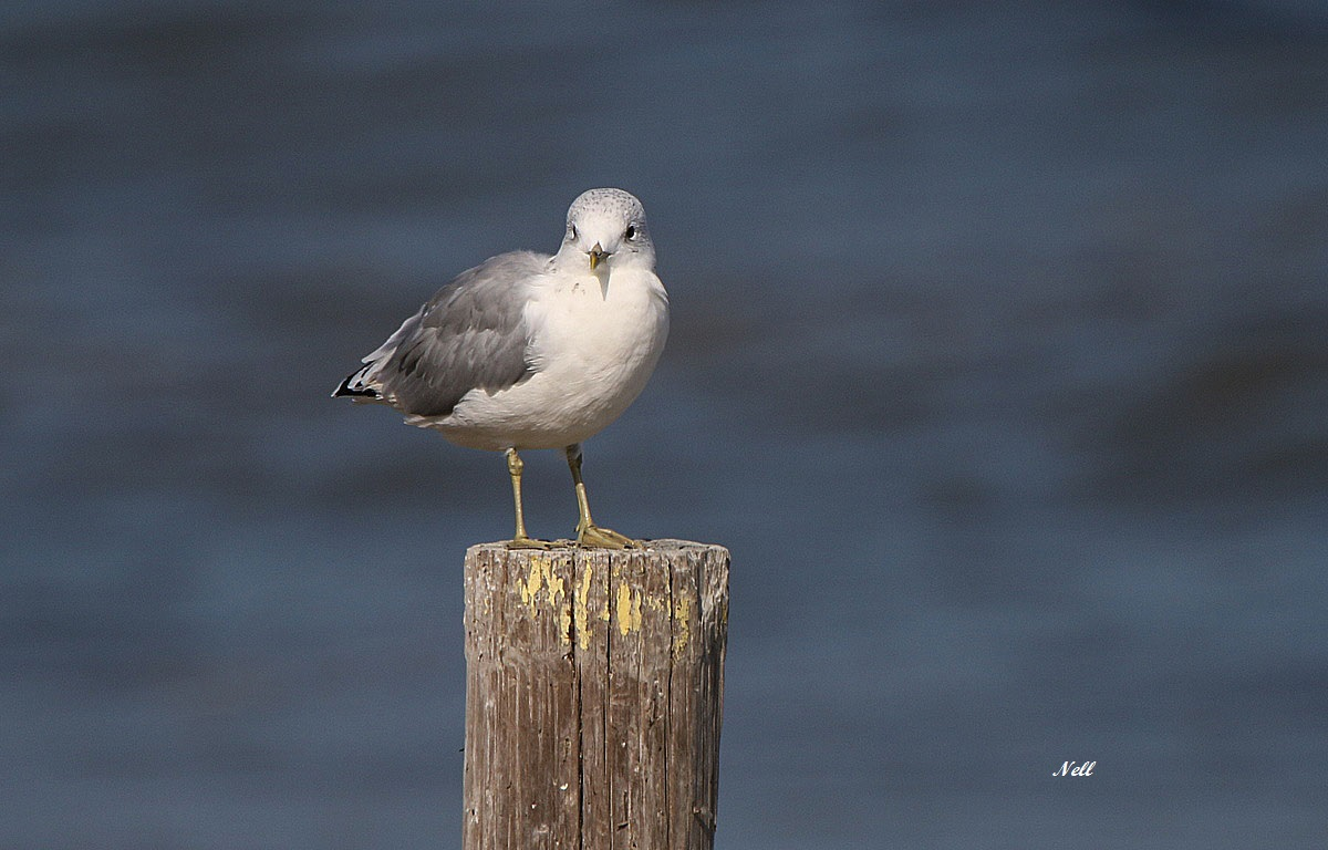 Mouette tridactyle (2).JPG