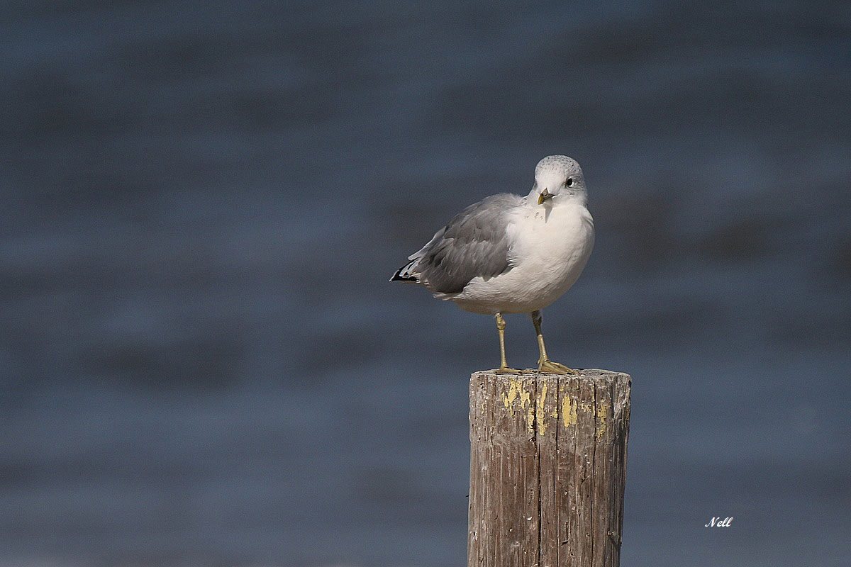 Mouette tridactyle (3).JPG
