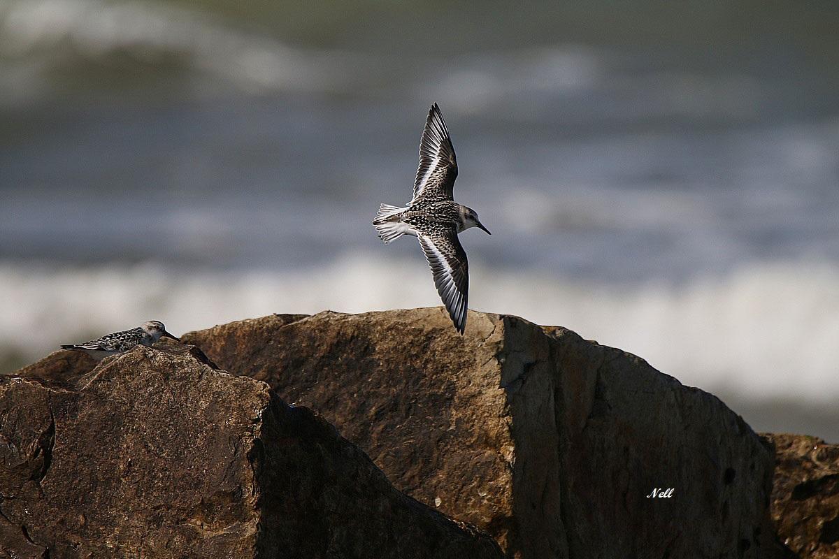 Bécasseau sanderling (Calidris alba).JPG