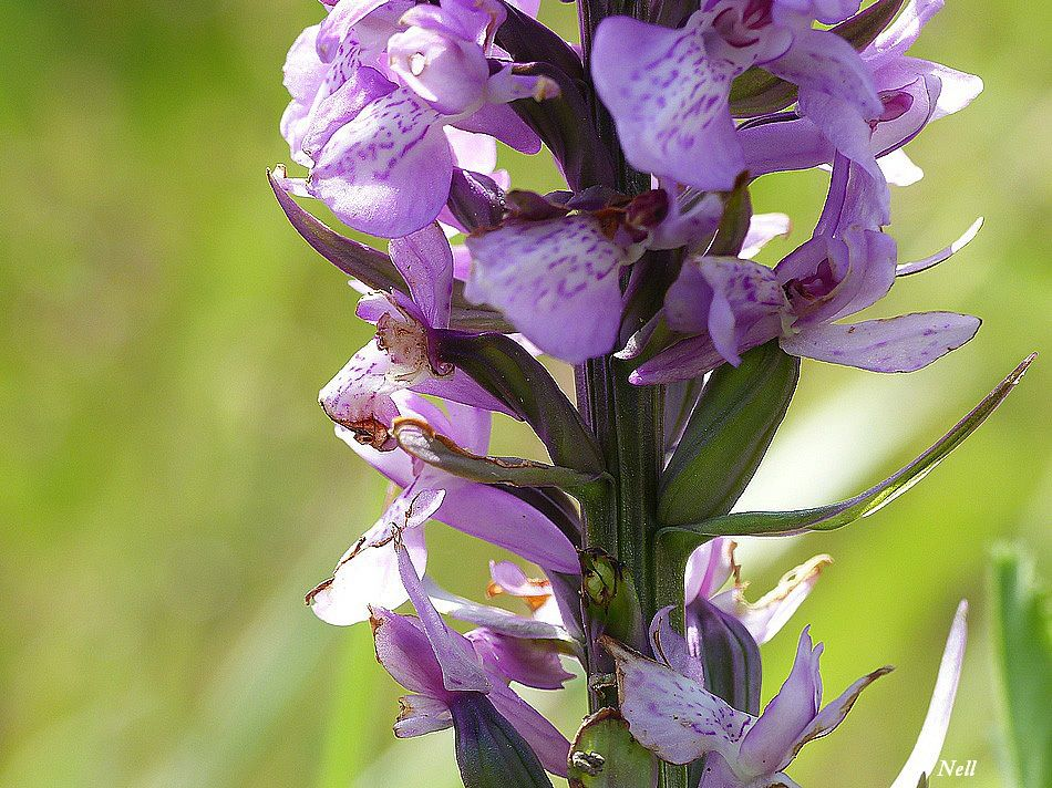 orchidee sauvage calvados