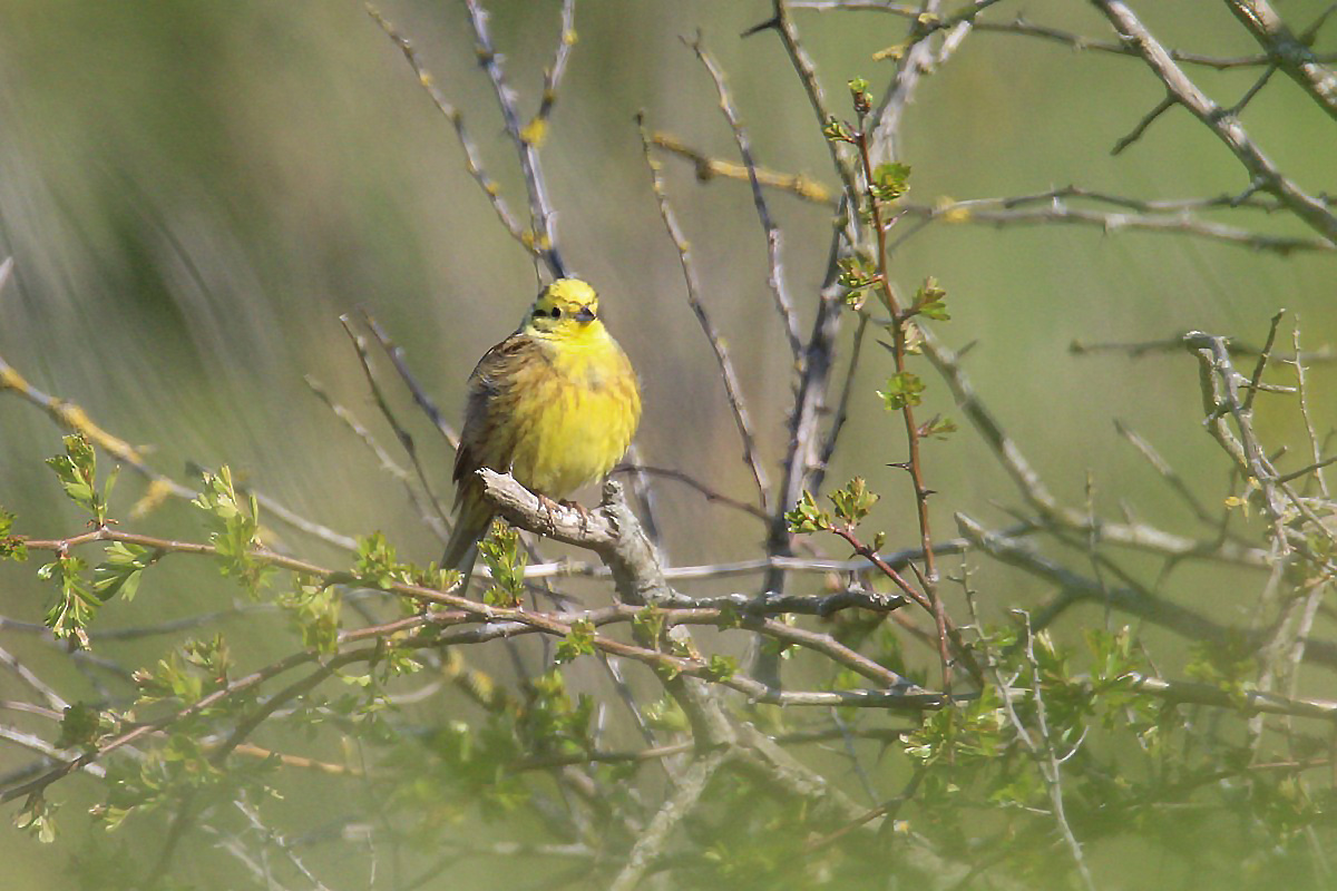 Bruant jaune (1)